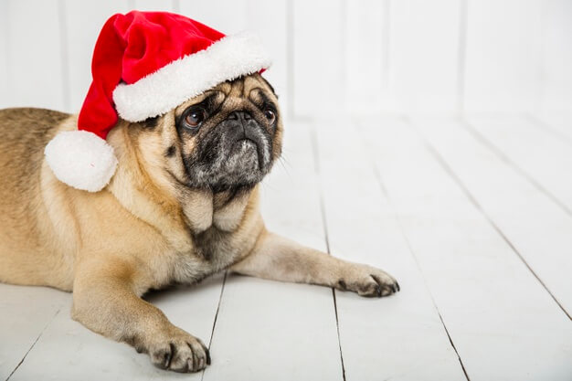 a pug wearing a red santa hat